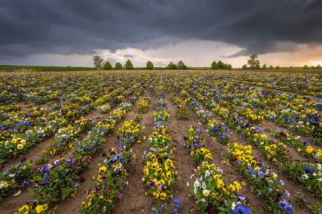 Stormachtige wolken boven een veld met violen