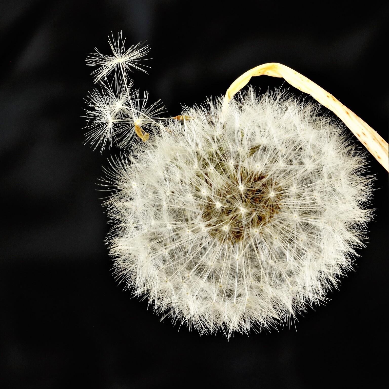 klaar voor vertrek - paardenbloempluisjes klaar voor vertrek om een nieuwe plant te vormen  - foto door mieke58 op 12-04-2021 - locatie: Berlicum - deze foto bevat: zwart wit, pluisjes, paardenbloem, bloem, fabriek, bloeiende plant, kunst, terrestrische plant, lettertype, symmetrie, detailopname, macrofotografie, evenement