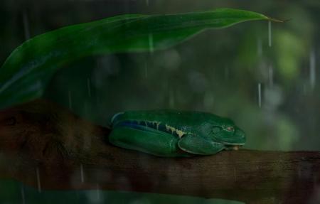 Seeping in the rain - hoewel een kikker deze jongen houdt niet van nattigheid ...dan ga je lekker slapen onder een ,,parapluutje,, - foto door Dylano op 11-04-2021 - deze foto bevat: kikker..roodoogmaki., regen..groen, reptiel, geschaald reptiel, terrestrische plant, terrestrische dieren, amfibie, staart, gras, elektrisch blauw, macrofotografie, dieren in het wild