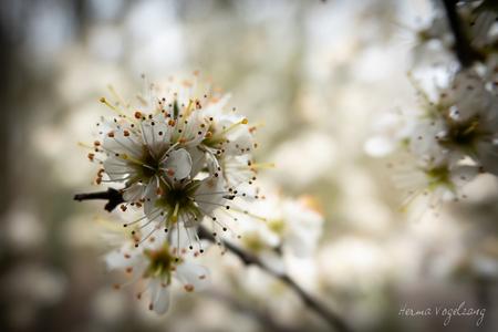 Bloesem pracht - Bloesem pracht in het voorsterbos  - foto door littlebirdy op 12-04-2021 - deze foto bevat: bloemen, bloesem, natuur, lente, sonyrx10iv, sonyrx10m4, closeup, bloem, fabriek, bloemblaadje, takje, boom, natuurlijk landschap, bloeiende plant, gras, bloesem, onderstruik