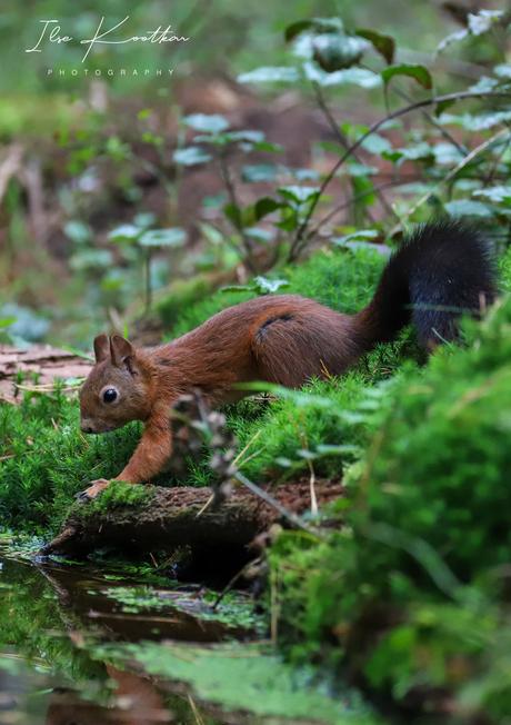 Dorstige eekhoorn