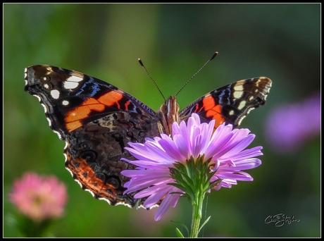 Atalantavlinder