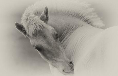 konik paardje