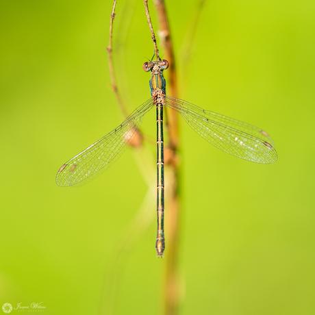 Chalcolestes viridis II ♀
