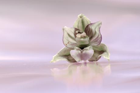 bloempje van de brede wespenorchis