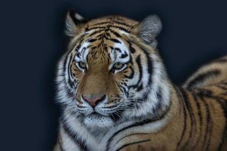 Tijger - Portret - foto door immooi op 27-10-2012 - deze foto bevat: tijger, zoo, blijdorp, portrtet, Amersfoort Immoos