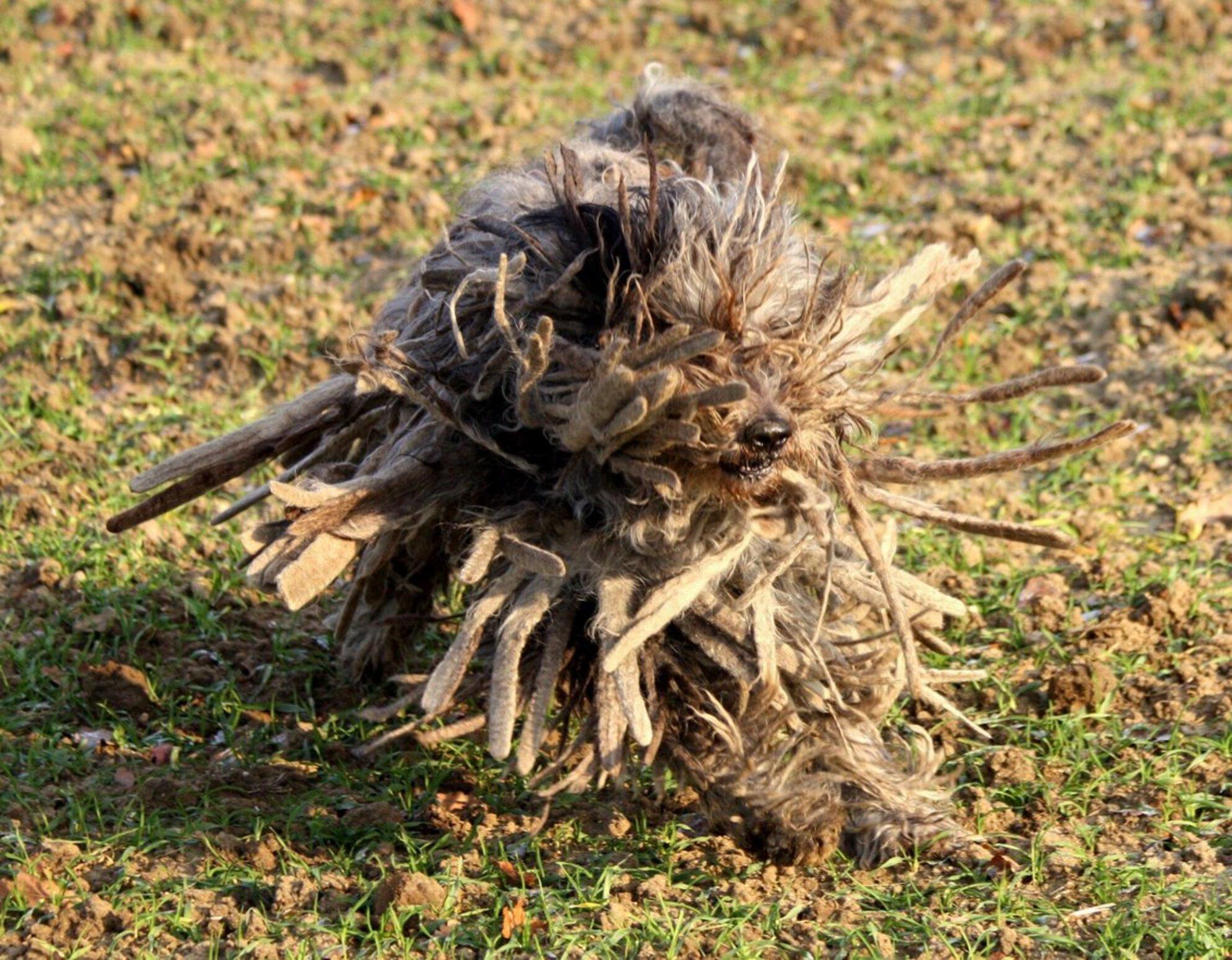Exploding dog - Askan, dit keer met m'n 70-300, éindelijk precies scherp - foto door SchizoDuckie op 02-01-2009 - deze foto bevat: winter, hond, askan, bergamasco - Deze foto mag gebruikt worden in een Zoom.nl publicatie
