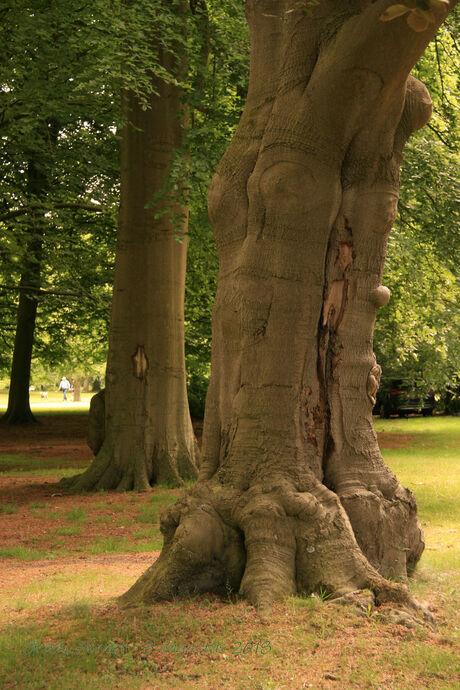Clingendael oude boom