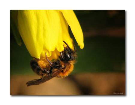 Eindelijk lente!! - Hallo... eindelijk, na maanden van binnen zitten, koud en grijs weer hebben we deze week toch eens kunnen genieten van een heerlijk zonnetje...zalig - foto door smeagol op 20-03-2010 - deze foto bevat: macro, lente, bij, bijen, paasbloemen, s5, smeagol