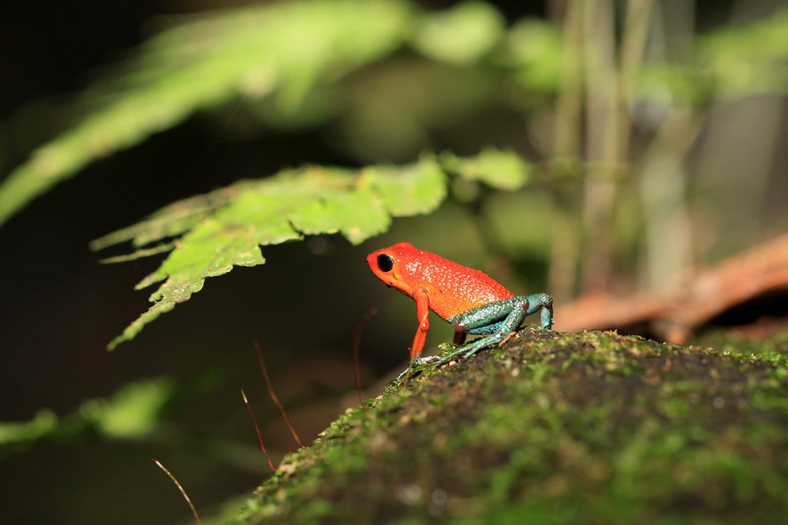 Costa Rica 7 - bleu jeans frog, het is toch een hele belevenis om van die kleine kikkertjes te zien in de jungle....slechts 2,5 cm groot.  Bedankt weer voor de le - foto door cibjen op 21-06-2013