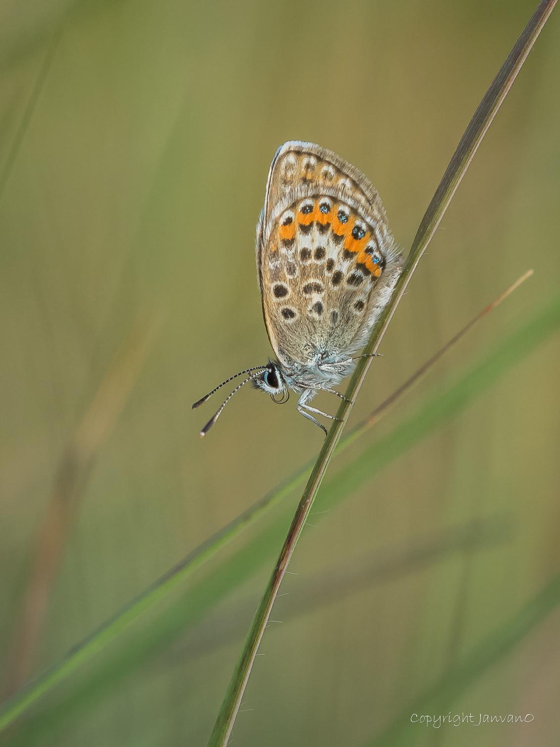 Heideblauwtje my way 2 - In de vorige upload vertel ik hoe ik graag een heideblauwtje zie, scherp, veel detail, mooie scherptediepte enz.  Ik fotografeer met Olympus, dat i - foto door JanvanO op 16-07-2018 - deze foto bevat: groen, macro, blauw, natuur, vlinder, bruin, blauwtje, geel, licht, oranje, zomer, dof, heideblauwtje, heeze, bokeh, wasven, janvano, Strabrechtse heide, sigma macrolens 150mm, olympus omd em-1