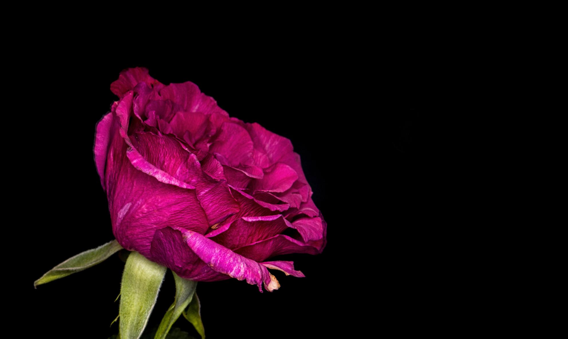 macro Roos - - - foto door Barry1970 op 16-01-2016 - deze foto bevat: roze, rood, macro, natuur, roos - Deze foto mag gebruikt worden in een Zoom.nl publicatie