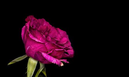 macro Roos - - - foto door Barry1970 op 16-01-2016 - deze foto bevat: roze, rood, macro, natuur, roos