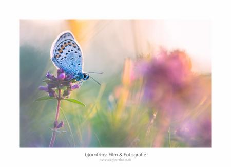 Macro-2 - - - foto door bfrins op 28-07-2016 - deze foto bevat: macro, blauw, zon, natuur, vlinder, blauwtje, licht, tegenlicht, zomer, insect, dauw, dof, bokeh
