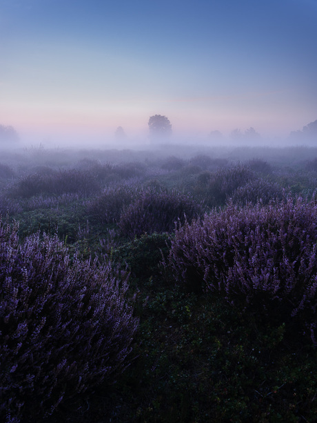 Blue hour heather