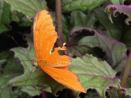 Oranje Vlinder / Orange Butterfly