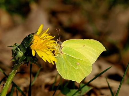 citroenvlinder - Fotografie en fitness gaan perfect samen als je op vlinderjacht bent. Dat bleek deze voormiddag wel. Ik heb een halve dag achter deze beestjes aan ge - foto door Karientje op 19-04-2009 - deze foto bevat: vlinder