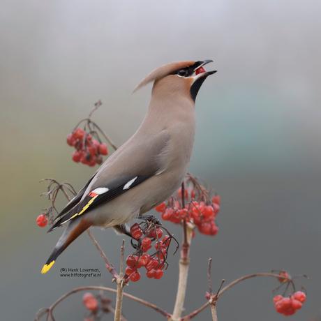 Pestvogel met bes