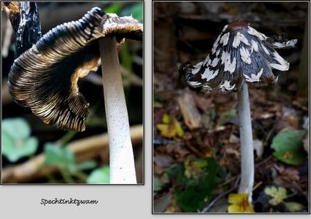 Weer even het bos in . . . - Spechtinktzwam - . . . hij is aanvankelijk volledig bedekt door een wit en viltig velum dat bij het uitgroeien van de hoed in onregelmatige banden op - foto door 1103 op 28-10-2014 - deze foto bevat: macro, natuur, druppel, paddestoel, herfst, bokeh