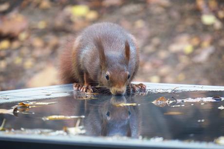 Eekhoorn met weerspiegeling in het water