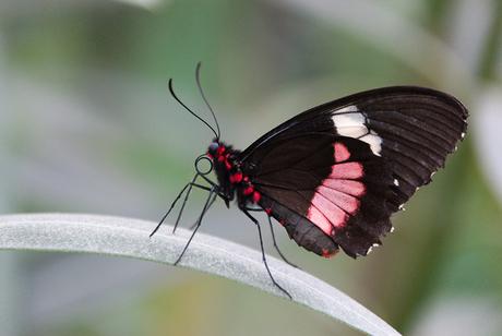 Pink cattleheart vlinder