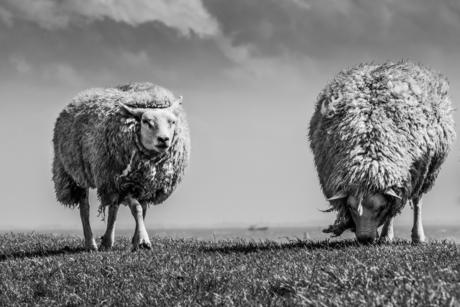 Texel Sheep B/W I
