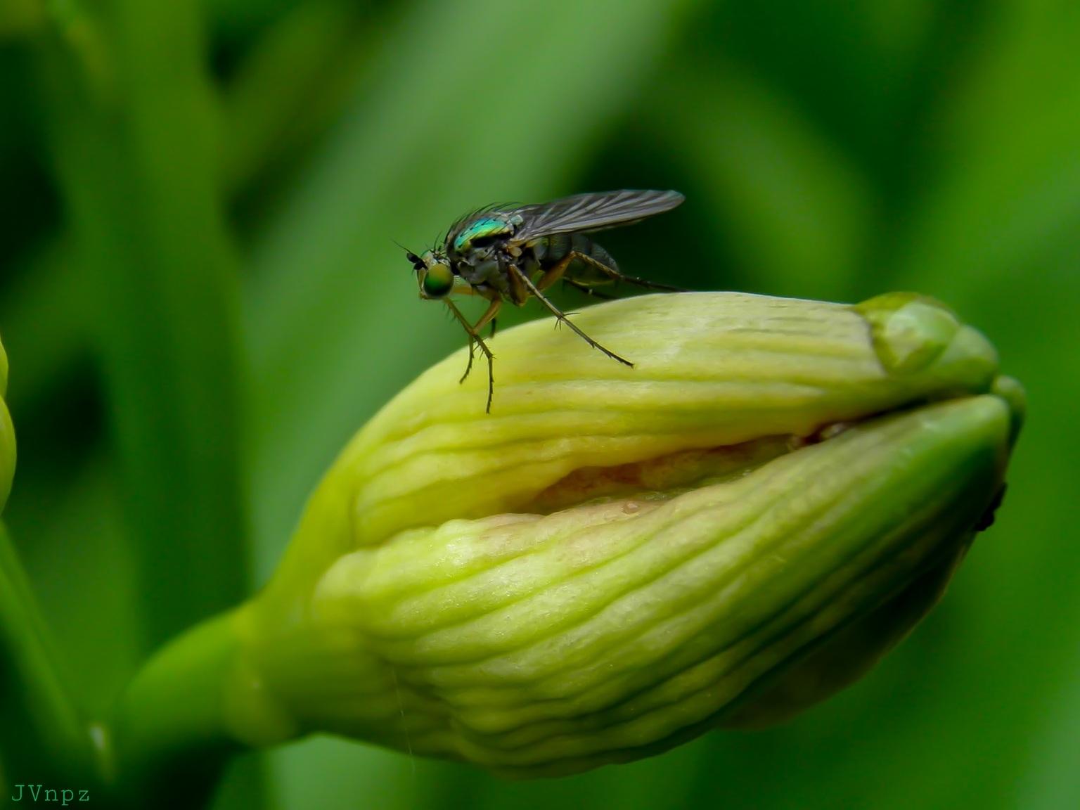 Slankpootvlieg - De Slankpootvieg is een vlieg met bruine opvallende lange poten. - foto door Vissernpz op 10-04-2021 - locatie: 9988 TE Noordpolderzijl, Nederland - deze foto bevat: vlieg, insect, groen, natuur, macro, bloem, fabriek, insect, geleedpotigen, bestuiver, bloemblaadje, terrestrische plant, plaag, gras, bloeiende plant