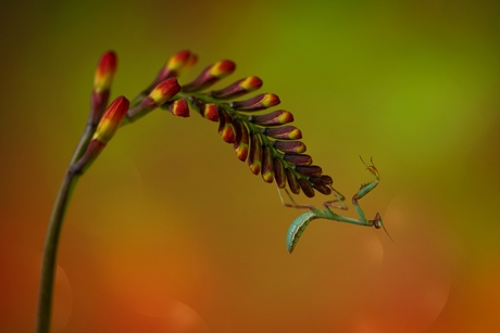 the life of a mantis