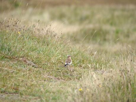 vogeltje  in de duinen bij de slufter Texel