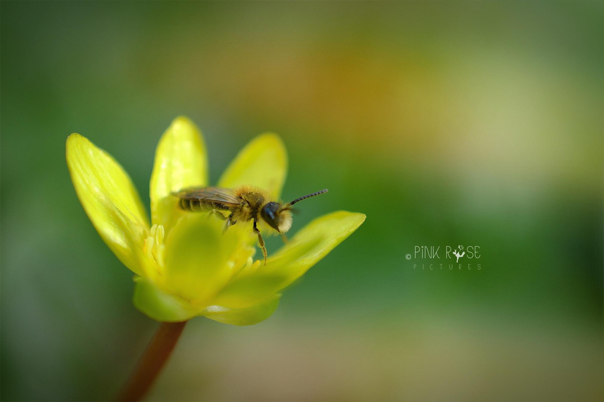 Collecting... - Bzzzz...  Dank voor de reacties bij de vorige upload.  Lfs. Marieke  - foto door PinkRosePictures op 08-04-2021 - locatie: Groeneveld 2, 3744 ML Baarn, Nederland - deze foto bevat: macro, natuur, bij, geel, groen, dof, bloem, bestuiver, fabriek, bloem, insect, geleedpotigen, bloemblaadje, honingbij, kruidachtige plant, plaag, bloeiende plant