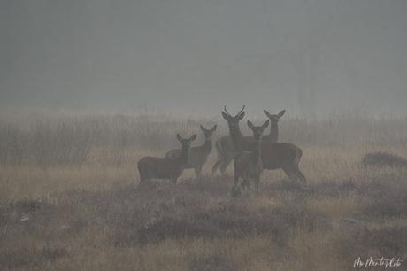 Edelherten in de mist