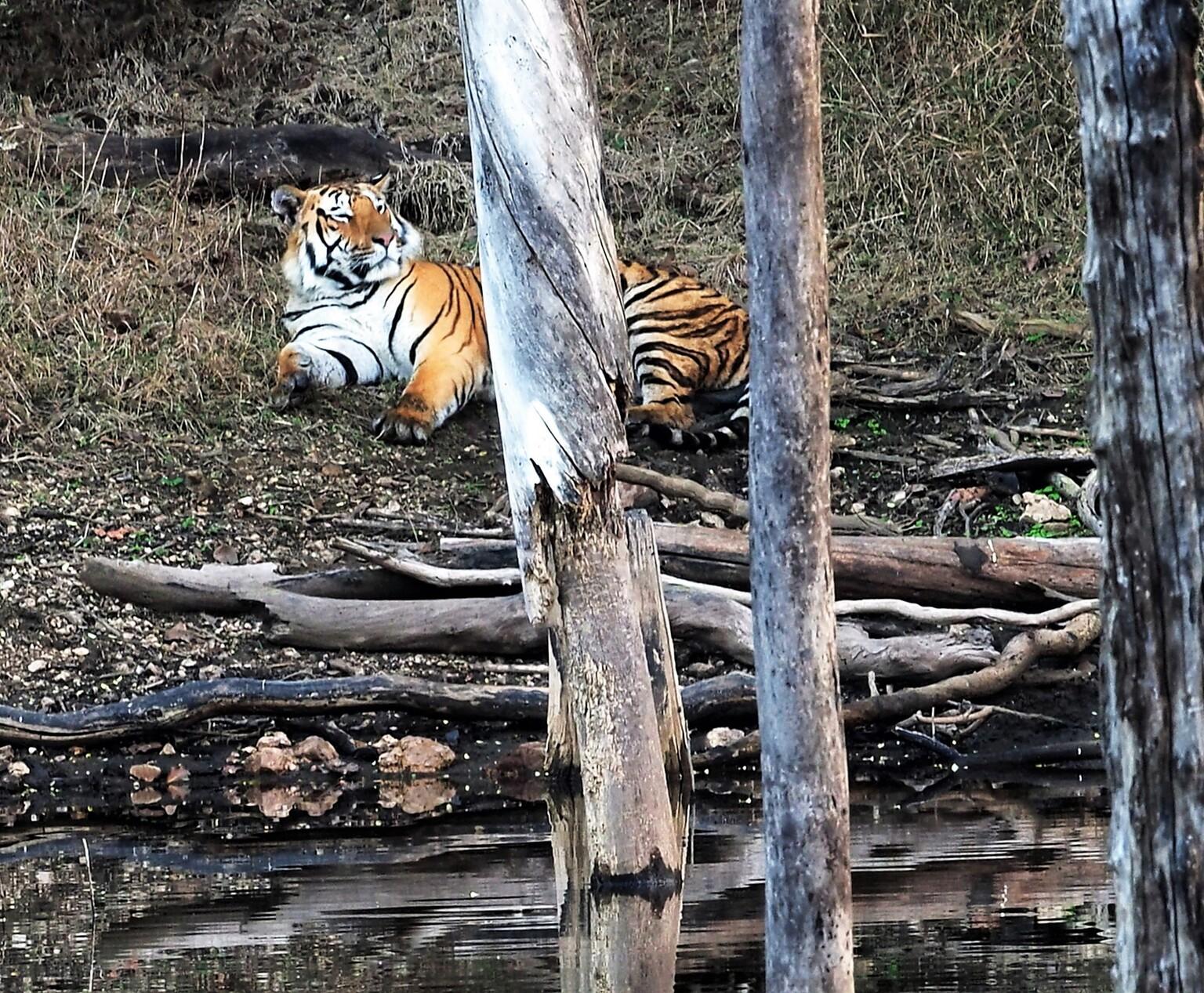 Mijn  Reizen - Deze  tijger   is zeker niet op jacht   dit is een mannetje   die  even de rust neemt  maar hij houd de omgeving   goed in de gaten .    Bedankt voor - foto door Stumpf op 15-04-2021 - locatie: India - deze foto bevat: bengaalse tijger, siberische tijger, tijger, natuur, felidae, carnivoor, hout, takje, kofferbak, terrestrische dieren
