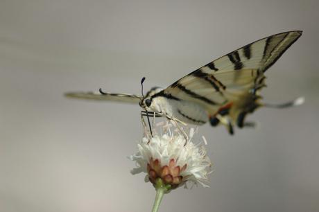Vlinder in Frankrijk