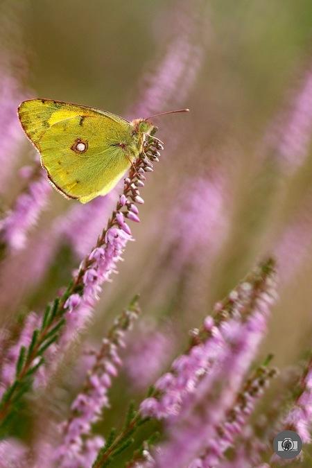 Zomergast - een foto van afgelopen tijd waarbij ik geluk had om deze trekvlinder tegen te komen.  groetjes,  Constant - foto door constant_zoom op 26-08-2015 - deze foto bevat: macro, zon, natuur, vlinder, geel, oranje, heide, zomer, diagonaal, oranje luzernevlinder