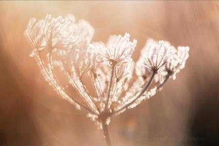 Bevroren vingers - Wat was het koud vanochtend. Heerlijk weer om te gaan fotograferen. - foto door joostopzoomnl op 04-12-2016 - deze foto bevat: roze, rood, macro, wit, zon, plant, bloem, water, natuur, bruin, druppel, geel, licht, rijp, winter, tegenlicht, nikon, vorst, dauw, bevroren, almere, dof, joost, nikkor, bokeh