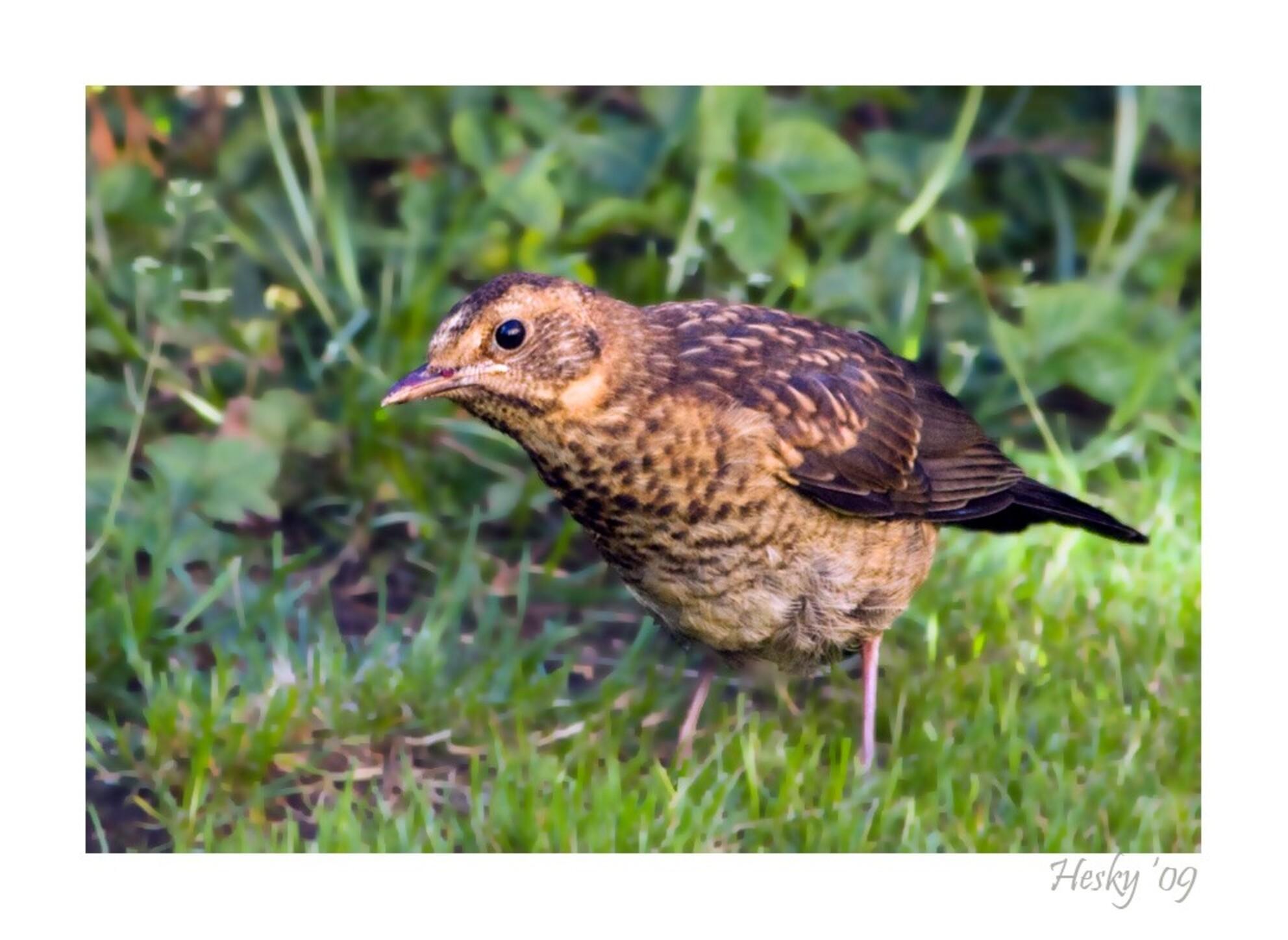 jonge merel - in de tuin - foto door 5hesky6 op 12-07-2009 - deze foto bevat: merel, tuin, vogel, jong - Deze foto mag gebruikt worden in een Zoom.nl publicatie