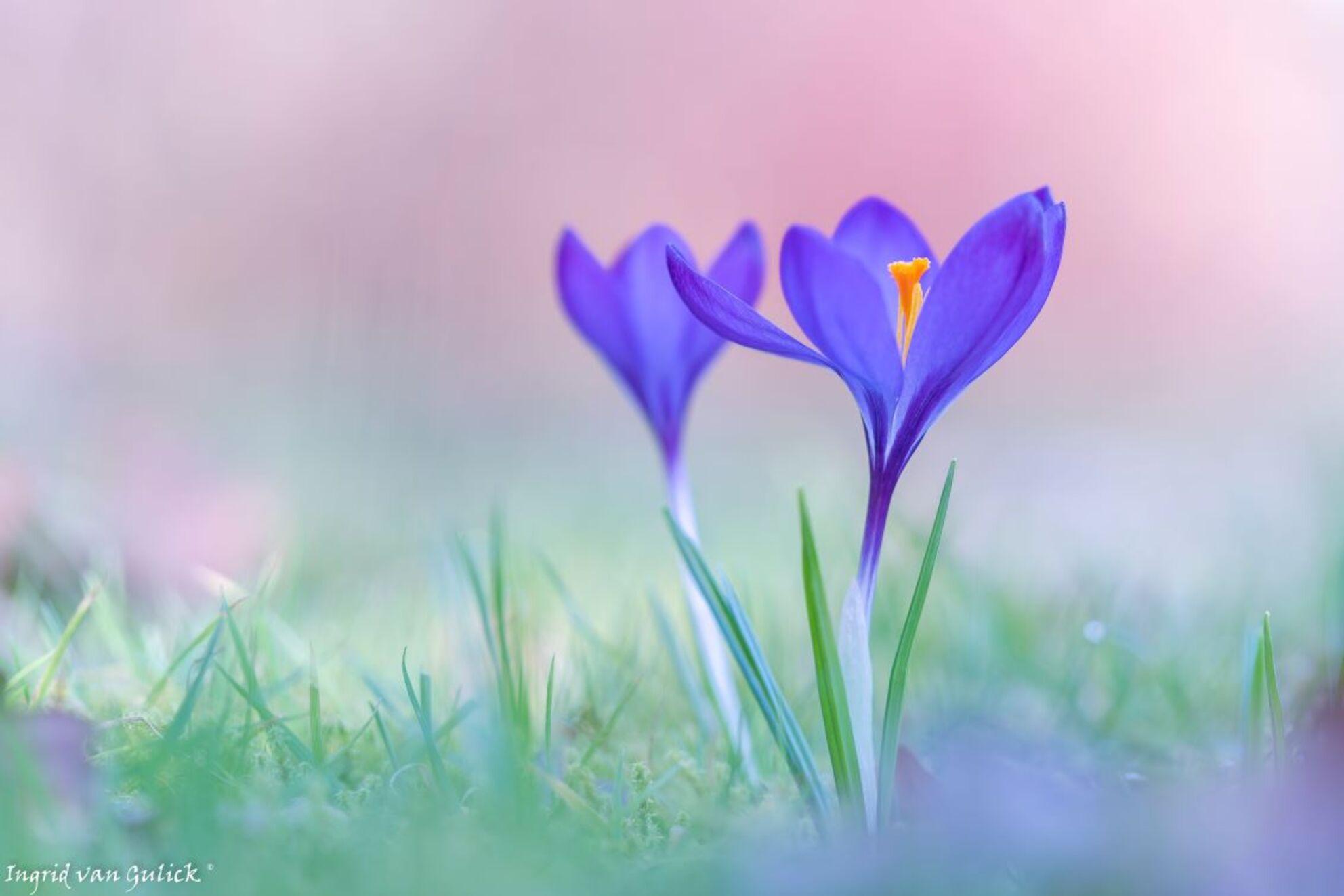 Voorjaar!! - Zo mooi als je de krokus wee boven de grond uit ziet komen, je krijgt meteen een lentegevoel. - foto door ingridvangulick op 26-02-2021 - deze foto bevat: paars, macro, lente