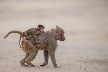 Together - Fijne dag :) - foto door corinnec op 15-06-2015 - deze foto bevat: dierentuin, dieren, safari, aap, Beekse bergen
