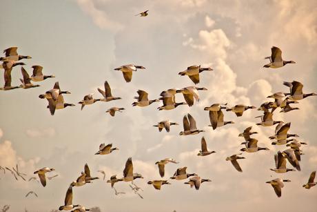 Ganzen in vogelvlucht