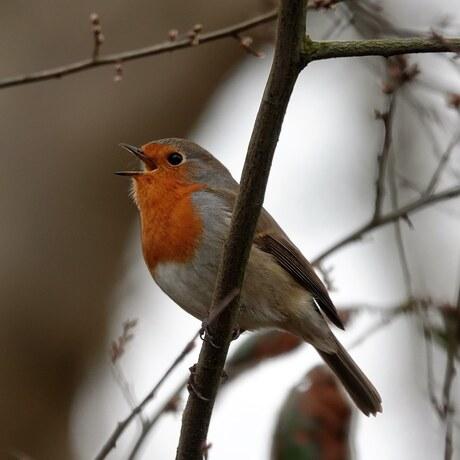 Zingend roodborstje