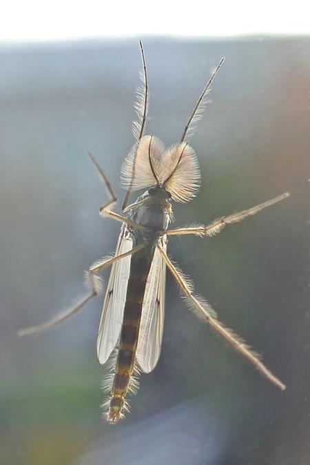 De mug is er weer - Met de komst van de lente wordt ook de mug weer actief en probeert het huis binnen te komen. Deze (kleine) mug zat op het raam en heb ik macro van bi - foto door JanVanRossum op 11-04-2021 - deze foto bevat: mug, macrofotografie, insect, geleedpotigen, fabriek, takje, vleugel, plaag, terrestrische plant, ongewervelden, kraanvliegen, dieren in het wild