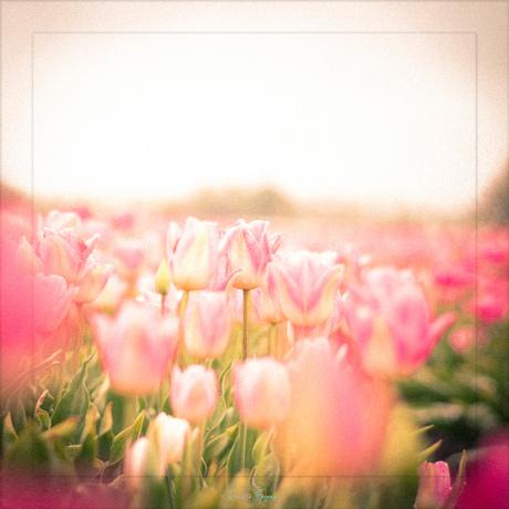 Tulpen Droom