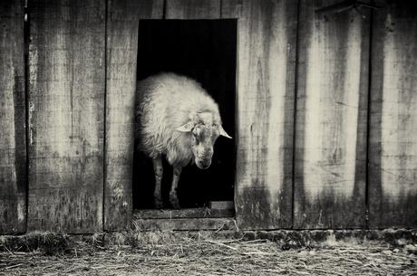 Sheep in the doorway