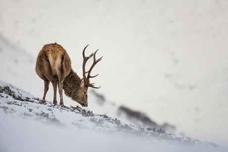 Edelhert in sneeuw