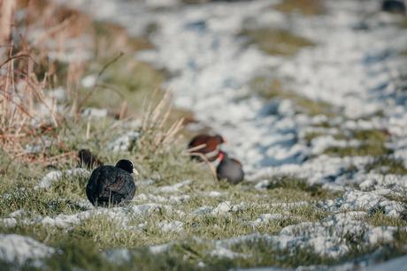 vogels op een bevroren weide