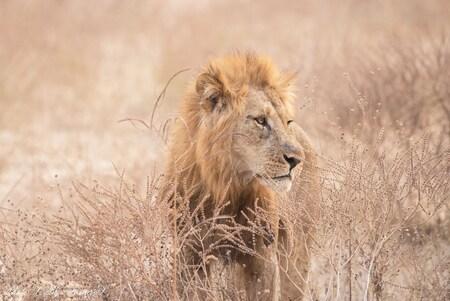 The Lion King - Nog zoveel foto's van vorig jaar en daarom deel ik er af en toe toch maar eentje. Hoe machtig om deze leeuw van zo dichtbij te mogen zien. Meestal zi - foto door Francis-Dost op 06-07-2018 - deze foto bevat: natuur, dieren, safari, leeuw, afrika, wildlife