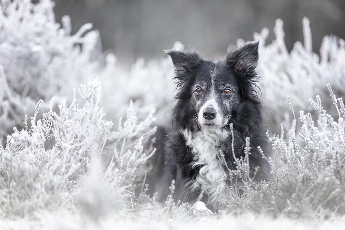 Gin in de heide met rijp - - - foto door MarleenVerheulFotografie op 10-01-2021 - deze foto bevat: dieren, huisdier, hond, hondenfotografie, hondenfotograaf