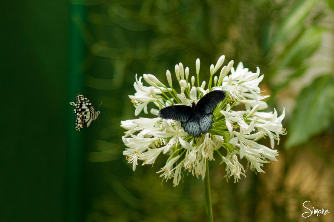 Vlinders - In de Botanische tuinen in Utrecht vind je deze prachtige vlinders. - foto door frostwood op 15-07-2013