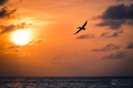 Pelican Sunset Aruba