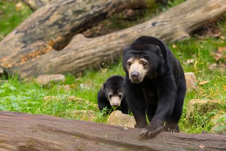 Maleise beer - moeder met jong